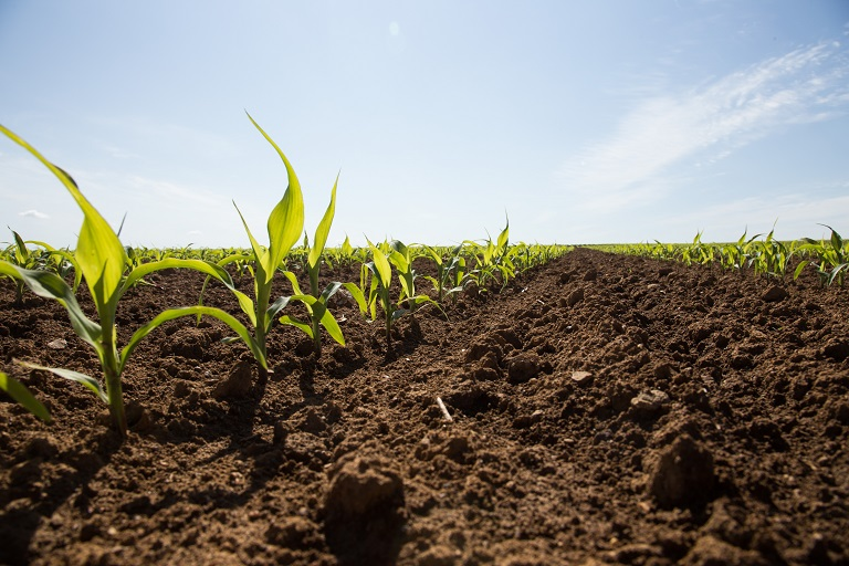 Plantules de maïs au stade 4-6 feuilles