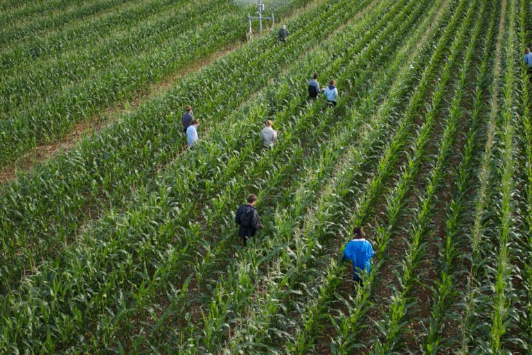 Emploi saisonnier pour l'épuration et la castration des parcelles de maïs semences